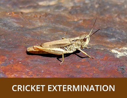 Cricket Extermination - ABZ Pest